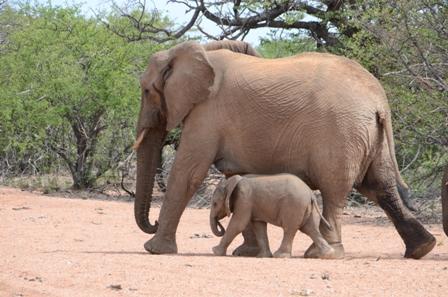Desert elephant Duchess and Otumwe