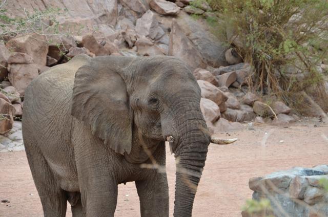 One tusk elephant