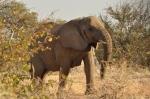 An elephant cow