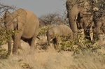 An elephant herd
