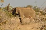 An elephant trumpeting