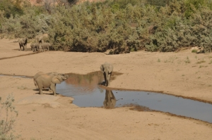 Elephant herd at water
