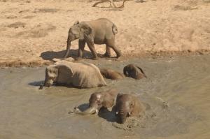 Elephants having a mud bath
