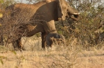 New born elephant