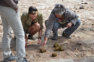 Volunteers collectin elephant dung