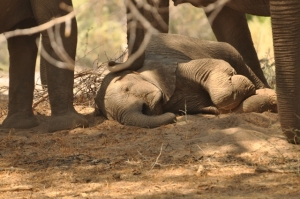 Baby elephant laying down