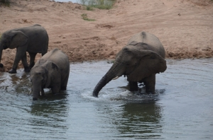 Elephants getting ready to swim