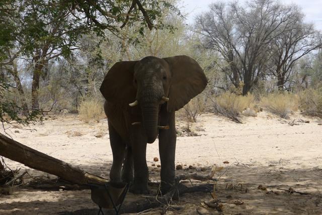 Elephant Eating a Stick an Elephant Carrying a Stick