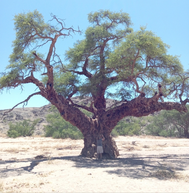 Camel Thorn Tree Namibia